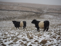 Some belted galloways in the snow