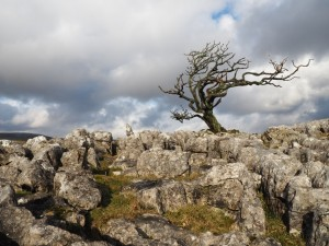 A lonely hawthorn amongst the limestone on Malham Moor