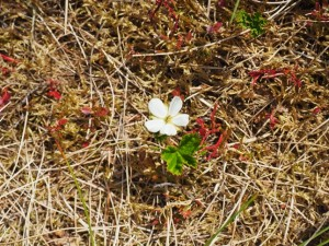 A cloudberry in flower, this plant is also locally known as  a knoutberry