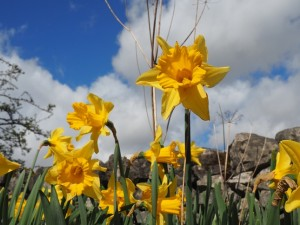 Daffodils by the layby