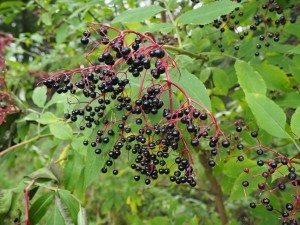 Elderberries in Wensley Park