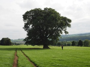 The large oak in Wensley Park