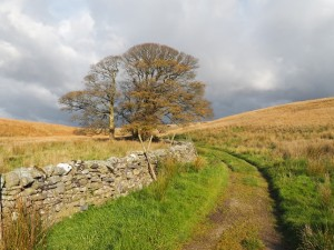 A lonely tree alongside the Pennine Way