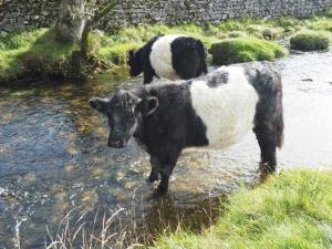 A pair of belties having a paddle in Malham Beck