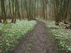 Snowdrops in Clints Wood