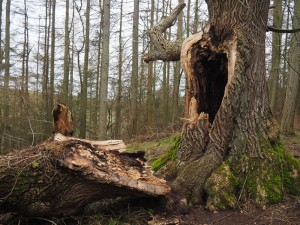 A broken tree in Clints Wood