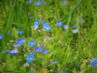We saw lots of colourful patches of germander speedwell