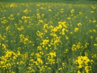 Passing a field of rapeseed