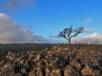 A lone tree on the limestone pavement above Conistone Dib