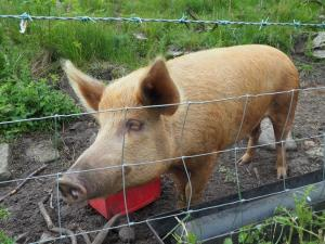 One of two pigs we came across near Brimham Moor