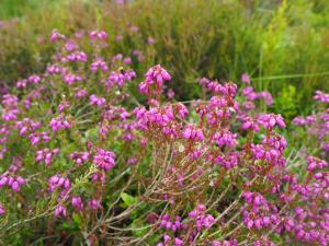 Some early blooming heather