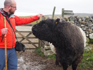 Getting to know a Belted Galloway bull