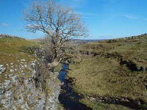 A random tree above Pen-y-ghent Gill