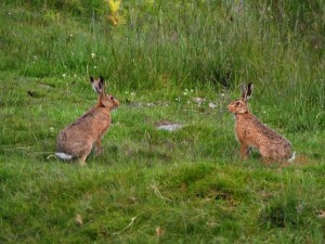 With another hare