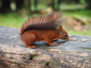 Our first red squirrel
