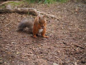 More red squirrel action