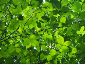 Leaf canopy by the River Lyvennet
