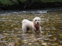 Barry having a paddle in the Wharfe at Lower Grass Wood