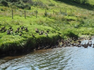 One of two congregations of ducks we saw on Hoff Beck