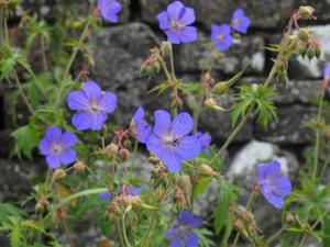 Meadow Cranesbill on Brockholes Lane