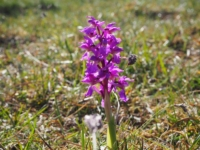 The first of a number of early purple orchids that I saw