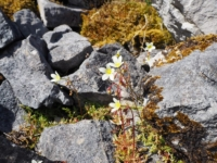 Some mossy saxifrage alongside Sulber Nick