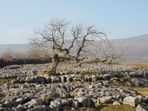 A tree on Sleights Pasture Rocks