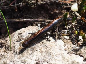 One of the many millipedes that we saw