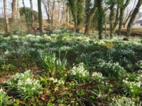 A fine display of snowdrops