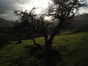 A pair of hawthorn trees
