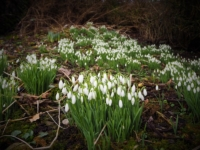 Snowdrops at Little Stainforth
