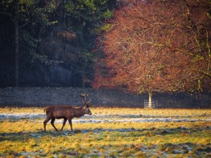 Another red deer stag