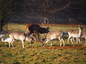 Two rutting fallow deer with a red deer stag behind