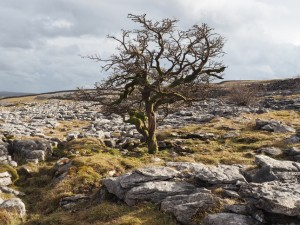 A tree on the limestone pavement below Sulber