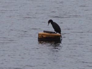 A cormorant on Fewston Reservoir