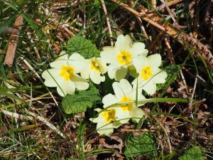 Primroses in Cow Close Wood