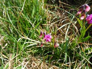 Bitter vetch in Higher Heights Hole