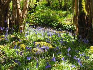 A lovely display of bluebells alongside the path between the upper and middle quarries