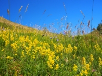 Lady's bedstraw was growing in profusion of the slopes near Troller's Gill