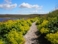 A section of the path by the reservoir was lined with a wonderful display of lady's mantle