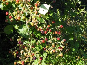 Seasonal berries alongside Skyreholme Bank