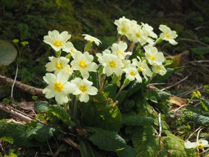I saw lots of primroses the deeper I walked up the gill
