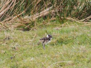 A lapwing chick