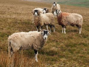 A few rams above West Stonesdale