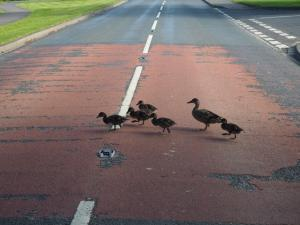 One of the duck families that I helped cross the road