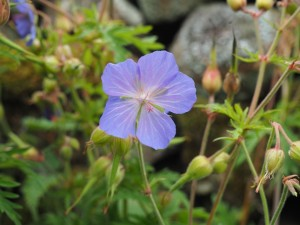 A Meadown Cranesbill on the way to Low Houses