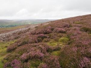 Purpling heather on Whitaside Moor