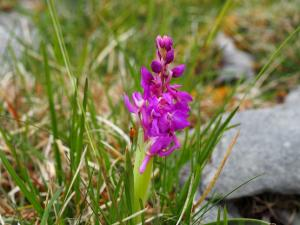 An Early Purple Orchid