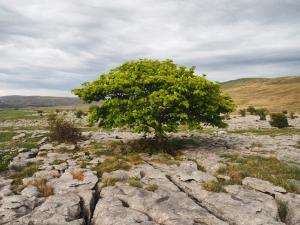 A tree on Southerscales Scars