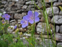 Meadow Cranesbill on the road leading out of Arncliffe